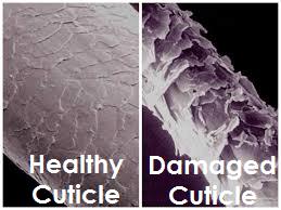 Cuticle Layer