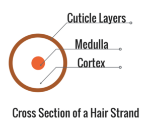 Cross section of hair strand