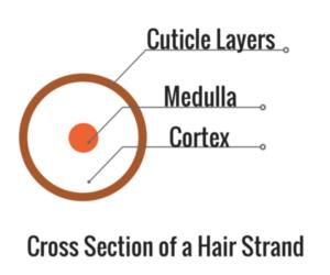 Cross section of hair strand