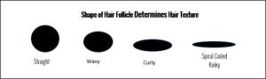 Shape of Hair Follicle and Hair Texture