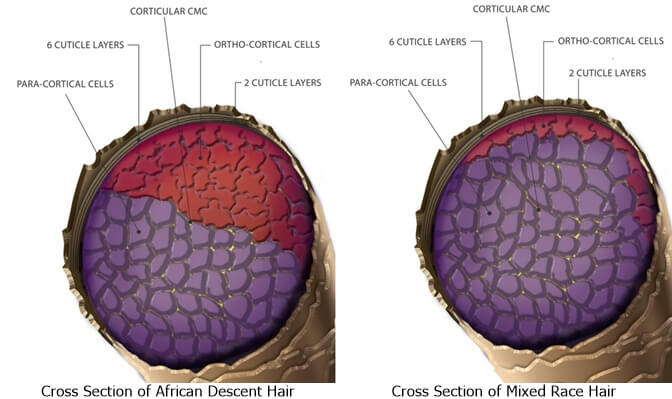 Cross Section of Mixed and African Hair